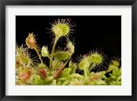 Framed Sundew plant, Stanley Park, British Columbia