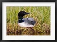 Framed British Columbia, Common Loon bird