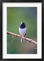 Framed British Columbia, Dark-eyed Junco bird, singing