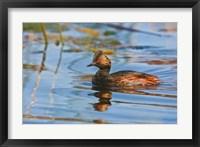 Framed British Columbia, Eared Grebe bird in marsh