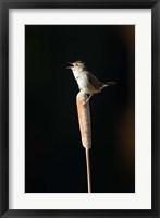 Framed British Columbia, Marsh Wren bird from a cattail