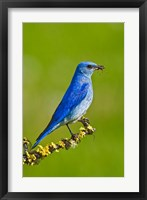Framed British Columbia, Mountain Bluebird with caterpillars