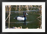 Framed British Columbia, Ring-necked Duck in marsh