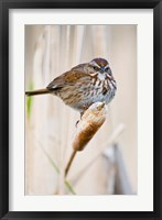 Framed British Columbia, Song Sparrow bird on cattail