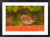 Framed British Columbia, Song Sparrow bird, bridge raining