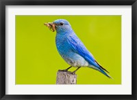 Framed Mountain Bluebird with caterpillars near Kamloops, British Columbia, Canada