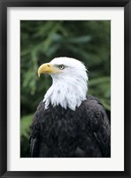 Framed Bald eagle, British Columbia, Canada