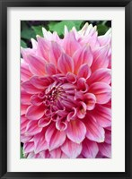 Framed Dahlia flower, Butchart Gardens, British Columbia