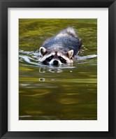 Framed Common Raccoon, Stanley Park, British Columbia