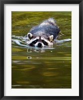 Framed Common Raccoon, Stanley Park, British Columbia