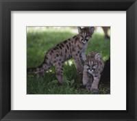 Framed Cougar cubs