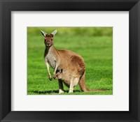 Framed Kangaroo