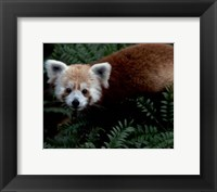 Framed Red Panda