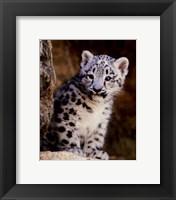 Framed Snow Leopard