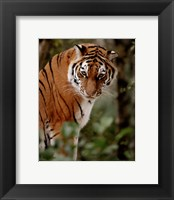 Framed Tiger - photo