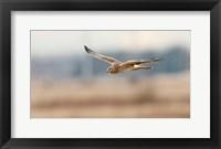 Framed British Columbia Boundary Bay, Northern Harrier bird