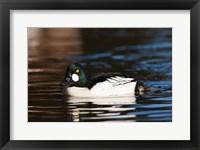 Framed British Columbia, Vancouver, Common Goldeneye duck