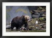 Framed Canada, British Columbia Grizzly bear eating salmon