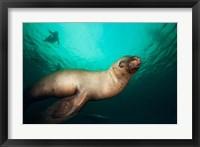 Framed British Columbia, Hornby Island, Steller's Sea Lions