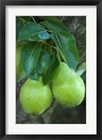 Framed Bartlett Pear, Okanagan Valley, British Columbia, Canada, Na
