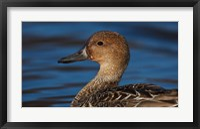 Framed Northern Pintail Hen, George C Reifel Migratory Bird Sanctuary, Westham Island, British Columbia, Canada