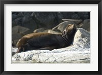 Framed Sea Lions, Batley Island, Pacific Rim, British Columbia