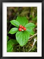 Framed Temperate Rainforest Berries, Bramham, British Columbia