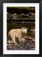 Framed British Columbia, Princess Royal Island, Spirit Bear
