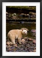 Framed British Columbia, Princess Royal Island, Spirit Bear