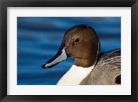 Framed British Columbia, Westham Island, Pintail Duck