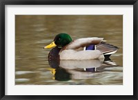 Framed Mallard Drake, George C Reifel Migratory Bird Sanctuary, Westham Island, British Columbia, Canada