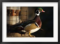 Framed Wood Duck Drake, George C Reifel Migratory Bird Sanctuary, Westham Island, British Columbia, Canada