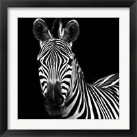 Framed Zebra II Square