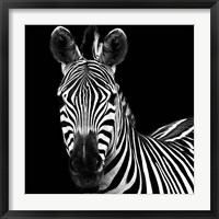 Framed Zebra II Square