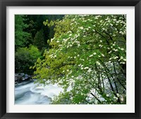 Framed Flowering dogwood tree along the Merced River, Yosemite National Park, California