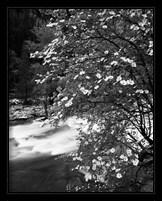 Framed Pacific Dogwood tree, Merced River, Yosemite National Park, California