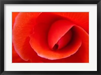 Framed Red Begonia flower, Victoria, British Columbia