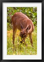 Framed Sitka Black Tail Deer, Fawn Eating Grass, Queen Charlotte Islands, Canada