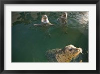 Framed British Columbia, Victoria, Harbor Seals, Oak Bay