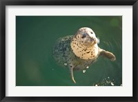Framed Harbor Seals, Oak Bay, Victoria, British Columbia