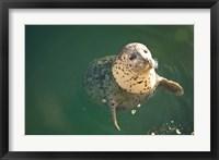 Framed Harbor Seals, Oak Bay, Victoria, British Columbia