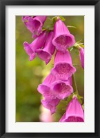 Framed Fox Glove Blooms, Queen Charlotte Islands, Canada