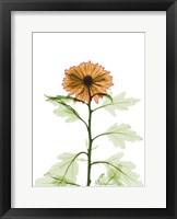 Framed Chrysanthemum 1