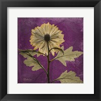Framed Chrysanthemum Purple III