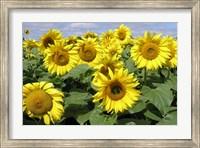 Framed Sunflower 21