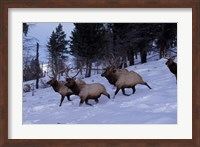 Framed Elk or Wapiti, Yellowstone National Park, Wyoming