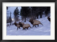 Framed Elk or Wapiti, Yellowstone National Park, Wyoming