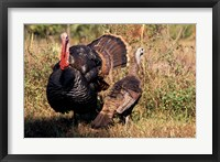 Framed Wild Turkey Tom and Hen