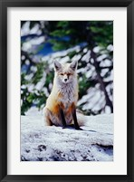 Framed Red Fox on Snow Bank, Mt Rainier National Park, Washington