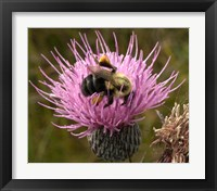 Framed Thistle and bumble bee